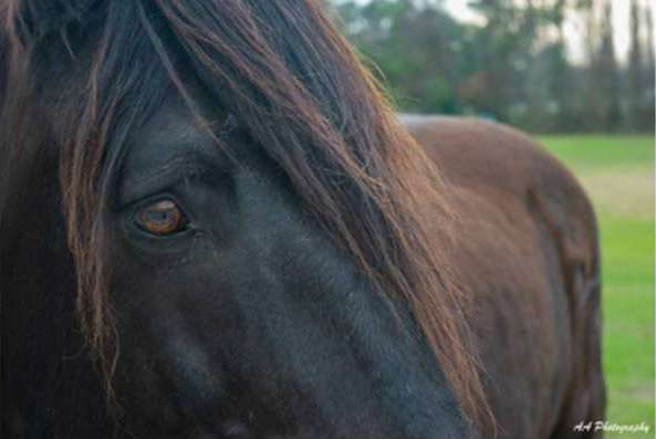 A close-up photo of a dark brown horse's face